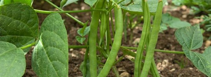 Green Bean Crop is 66% Planted