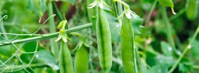 PEAS ARE 15% HARVESTED TO DATE